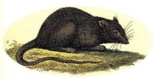 rats3.0